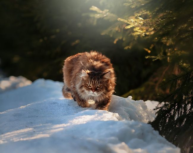Eye Cat Domestic Cat Animal Nature Winter Portrait Snow Winter Cold Temperature Looking At Camera Closing Close-up