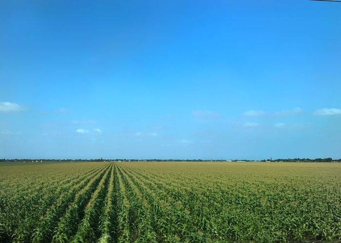 Field of sweet corn at full tassel. Field Agriculture Rural Scene Landscape Corn Sweet Corn Scenics Farm No People Sky Blue Sky Green Field Betterlandscapes