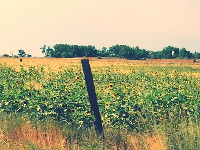 Hidden Gems  Sunflowers🌻 Sunflower Field Countryside Dirt Roads Aneye4theshot Colorado Ordway