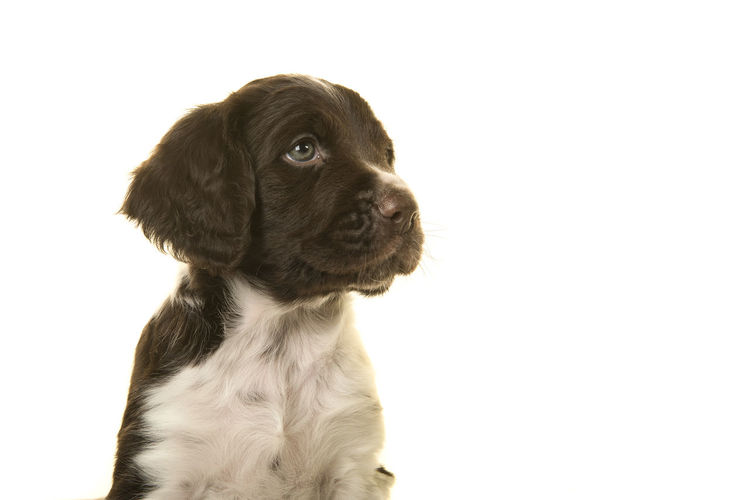 Portrait of a small munsterlander puppy dog on a white background looking to the side Small Münsterlander Heidewachtel Puppy Puppy Portrait Dog Portrait Looking Away Cute Puppy Puppy Dog Dog Animal Petal White Background