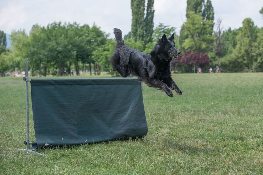 Belgian Shepherd Running Through the Grass Animal Themes Belgian Shepherds Black Color Day Dog Domestic Animals Domestic Cat Field Grass Mammal Nature No People One Animal Outdoors Pets Sky Tree