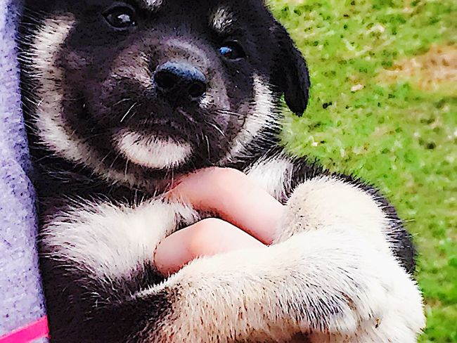 Timber Wolf/Agouti Husky Wolf Dog 4weeksold Hybrid Dog Low Content Roughly 20 Percent Female Alabama Outdoors Mobile County Gulf Coast Country Life Pets Dogs My Life Newest Member Of The Family My 12 Year Old Daughter's Birthday Gift Imprinting With Love Family Close Up Simple Moment Puppy Pride! Natural Photography From My Point Of View Just Look At Those Paws!!