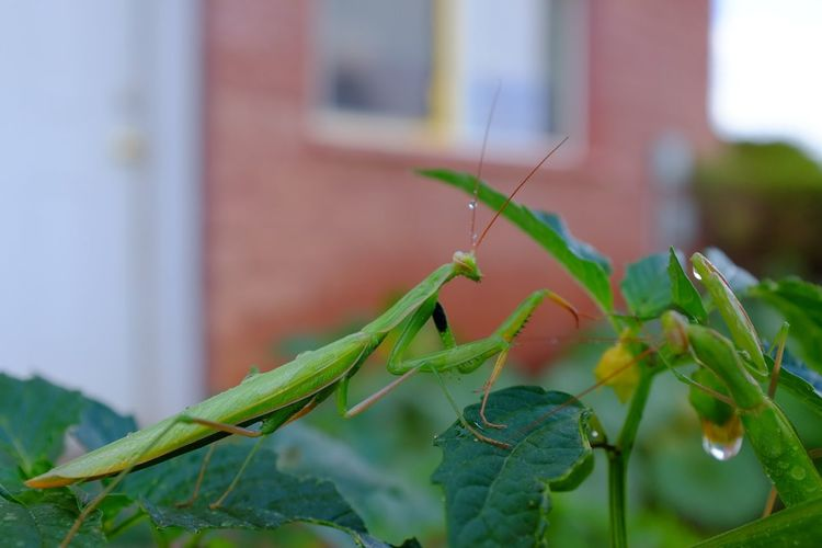 Praying Mantis Outdoors Macro