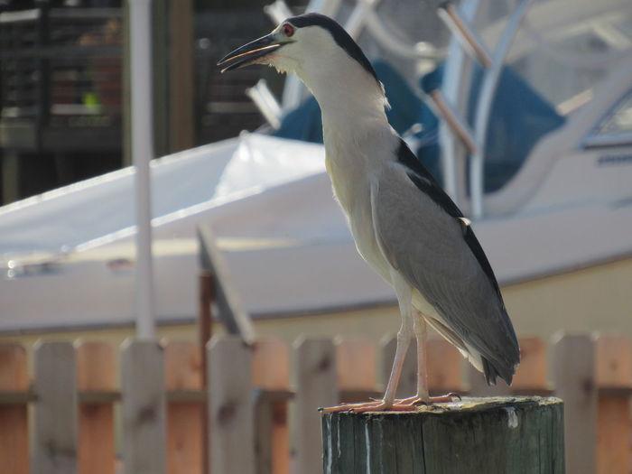 Black Crowned Heron Black White And Grey Daytime Fish Eater Harbor View Hunting Red Eyes Shy Bird Watching Water