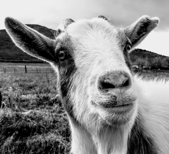 Animal Ear Animal Themes Close-up Day Domestic Animals Field Goat Life Livestock Mammal Nature No People One Animal Outdoors Portrait