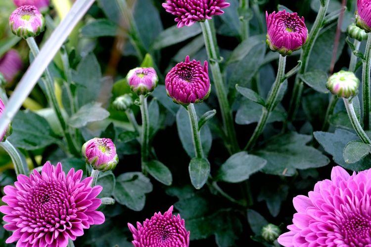 Dahlia buds and
