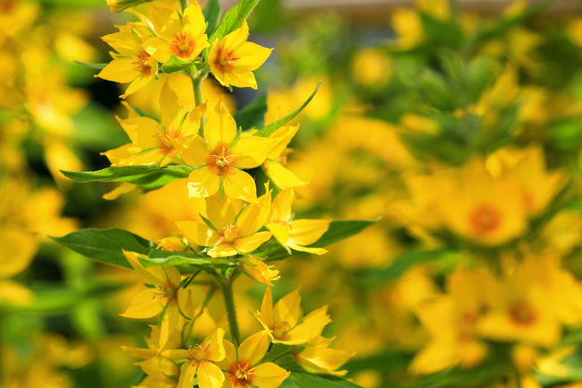 Dotted loosestrife (Lysimachia punctata) Beauty In Nature Blooming Close-up Day Flower Flower Head Focus On Foreground Fragility Freshness Garden Gilbweiderich Growth Loosestrife Lysimachia Nature No People Outdoors Perennial Petal Plant Punctata Yellow
