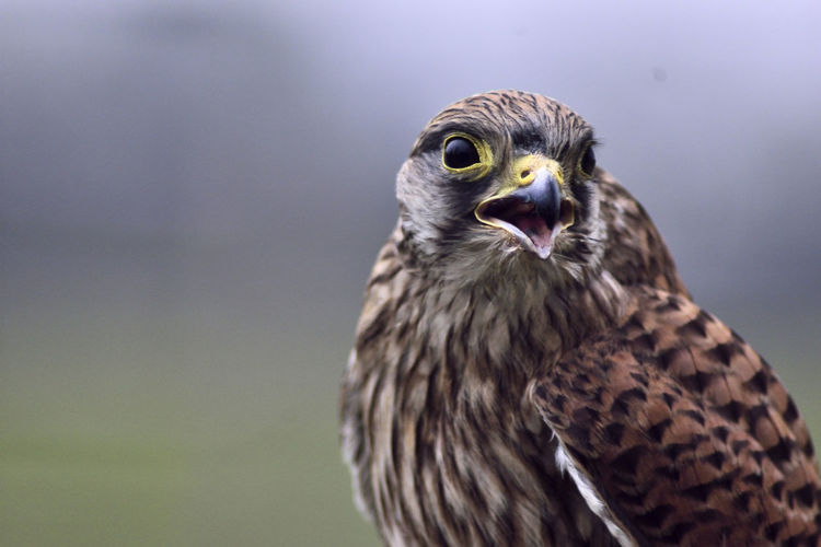 At Hawkforce, Kent Beak Beauty In Nature Bird Of Prey Close-up Falco Tinnunculus Falconidae Focus On Foreground Kestrel Majestic Bird No People Perching Power In Nature Powerful Raptor