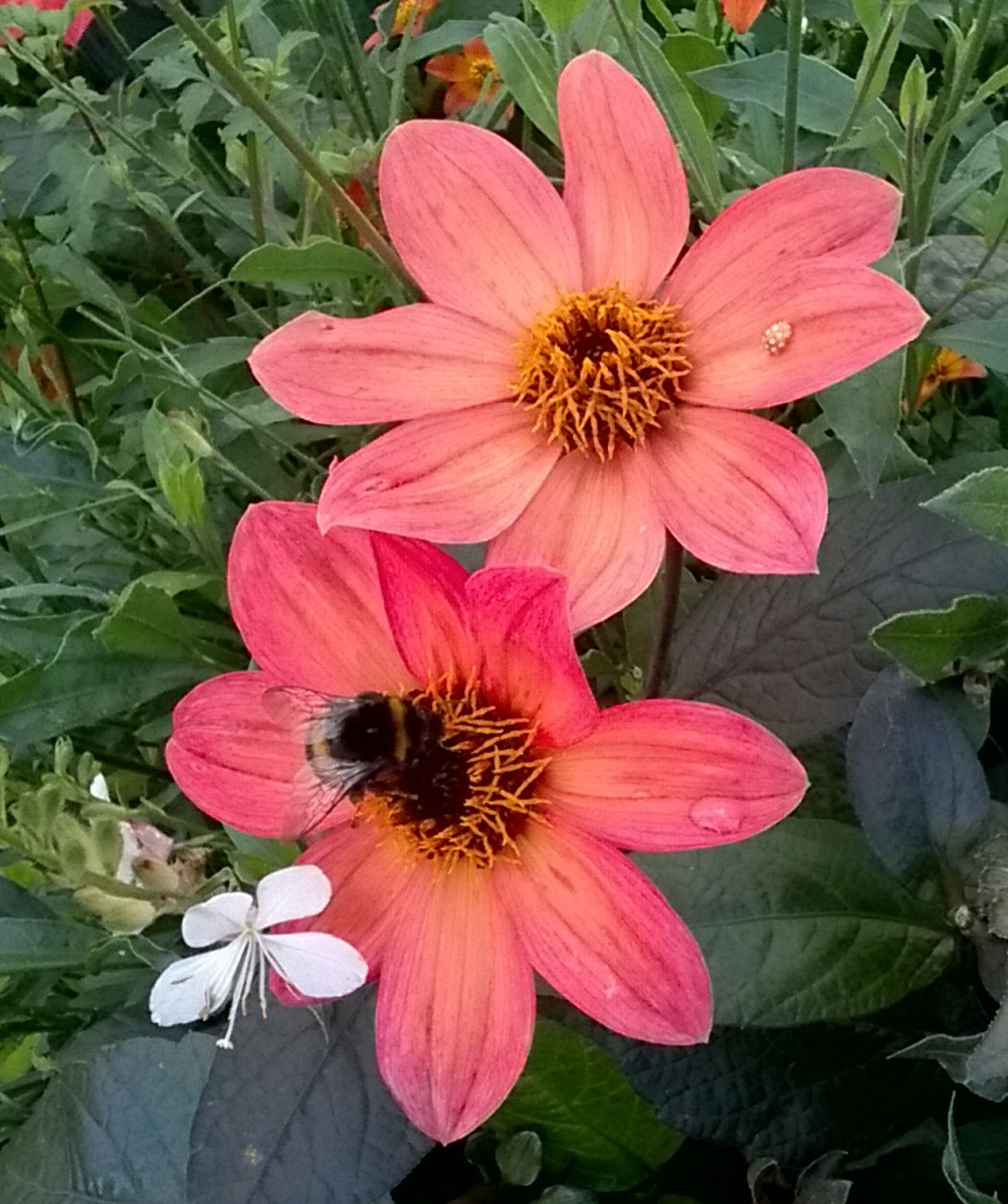 flower, flowering plant, petal, fragility, vulnerability, beauty in nature, flower head, inflorescence, freshness, growth, plant, animals in the wild, close-up, insect, bee, invertebrate, pollen, animal wildlife, high angle view, nature, pink color, pollination, no people, outdoors