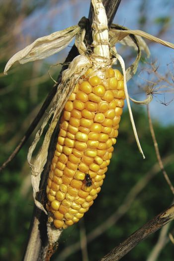 Close-Up Of Insect On Corn