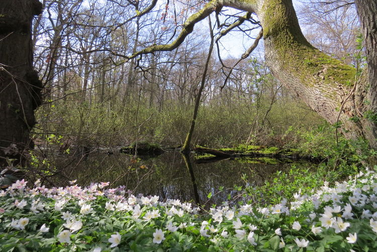 Im Park Juliusruh auf Rügen Beauty In Nature Blooming Blossom Day Flower Nature Plant Tree Wood Anemone