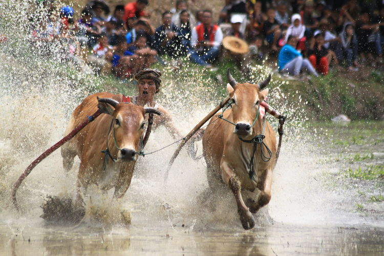 Cow Race from