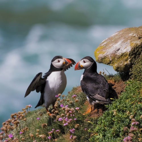 Animal Themes Animal Bird Animal Wildlife Animals In The Wild No People Nature Focus On Foreground Puffin