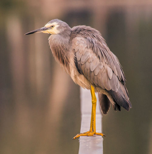 High Angle View Of White-Faced Heron  Perching Outdoors