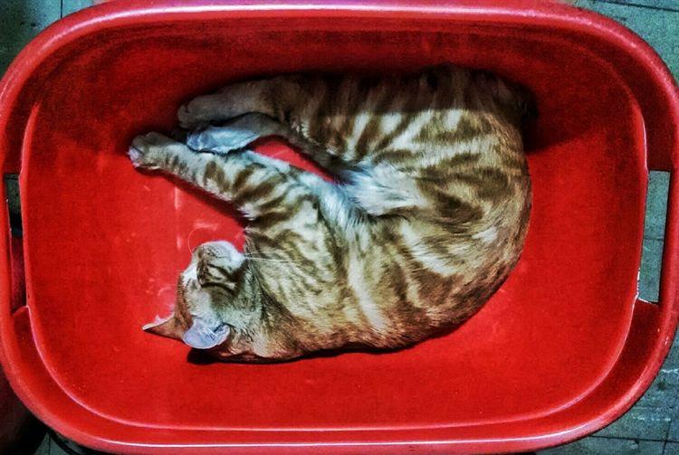 Domestic Cat Feline Cats Cat Gato ElMocho Slepping 😴