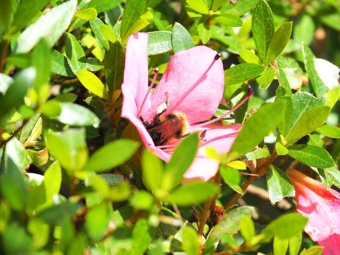 Bee growing azalea pollen (ツツジの花粉を集めるミツバチ) Ad Beautiful Copy Space Green Nature Plant Red Azalea Bee Black Color Close-up Flower Insect Landscape Margin No Person Nobody Outdoors Pink Color Pollen Takashima Text Space White つつじ ピンク色