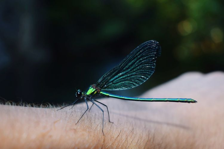 Close-up of damselfly on cropped hand
