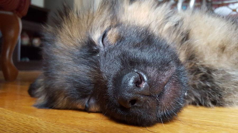 Sleeping Puppy Puppy Cute Pets Cute Adorable German Shepherd Germanshepherd Dogs Dog Gsdpuppy Dog Portrait