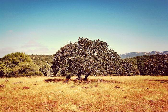 A tree at Annadel State Park in Santa Rosa, California. Landscape Sonomacounty California Canon