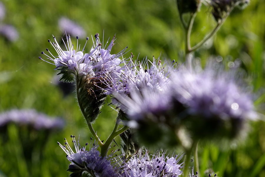 Phacelia Animal Themes Beauty In Nature Bienenweide Close-up Day Flower Flower Head Fragility Freshness Growth Insect Nature No People One Animal Outdoors Petal Plant Pollination Purple Selective Focus Thistle