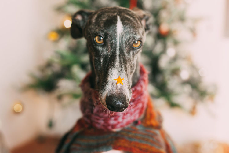 Christmas Galgo Animal Themes Close-up Day Dog Domestic Animals Greyhound Mammal No People One Animal Pets Portrait Star