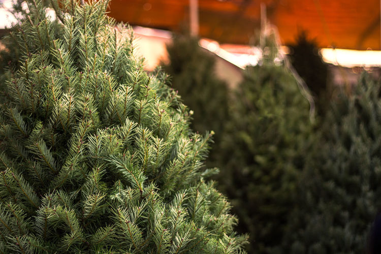 Plant Growth Green Color Tree No People Nature Close-up Beauty In Nature Outdoors Focus On Foreground Selective Focus christmas tree Day Leaf Pine Tree Plant Part Christmas Coniferous Tree Retail  Freshness Fir Tree Plant Nursery Navidad