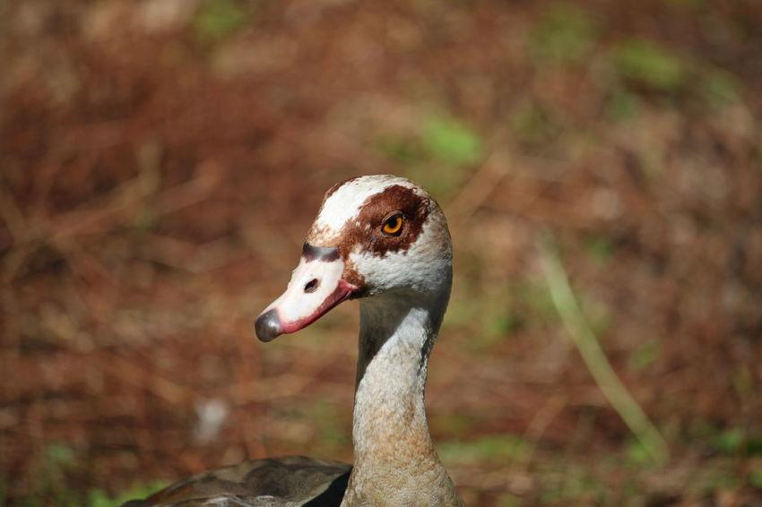 🇩🇪Germany Canada Goose Dortmund Bird Portrait Beak Looking At Camera Close-up Animal Eye Yellow Eyes Animal Head  Eye HEAD