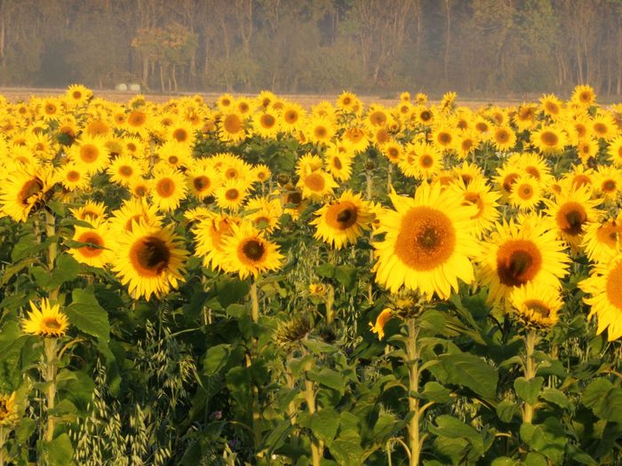 In The Morning Light Beauty In Nature Flower Flower Head Freshness Nature Plant Sunflowers🌻 Yellow
