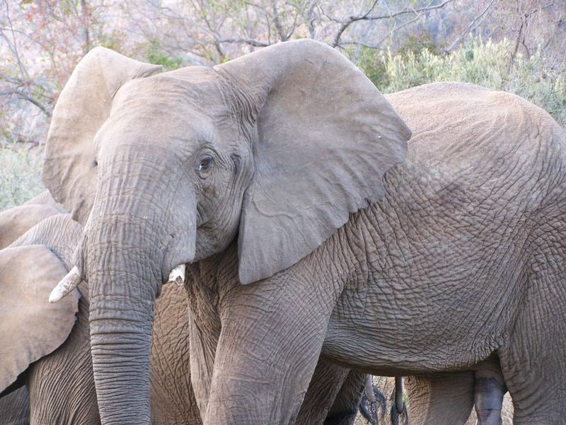 African Elephant Animal Animal Themes Animal Trunk Animal Wildlife Animals In The Wild Close-up Day Ear Elephant Mammal Nature No People Outdoors Safari Animals Tree Tusk South Africa African Beauty African Safari African Elephants