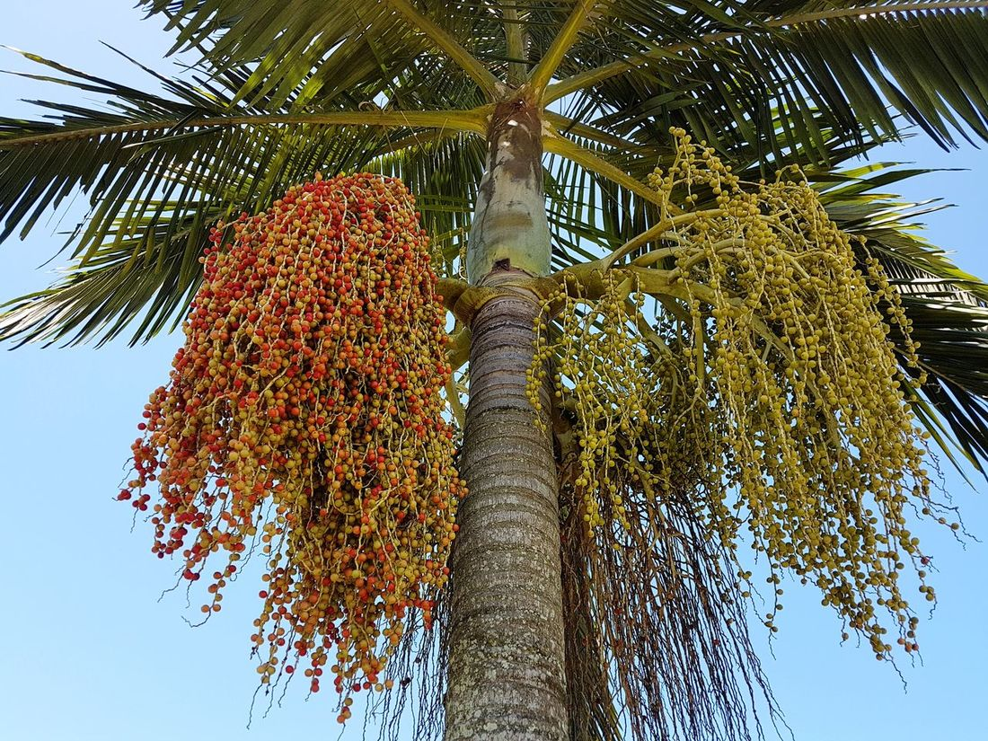 Palm Tree Branch Nature No People Beauty In Nature Sky Freshness Growth Tree Low Angle View Day Outdoors Tree Trunk