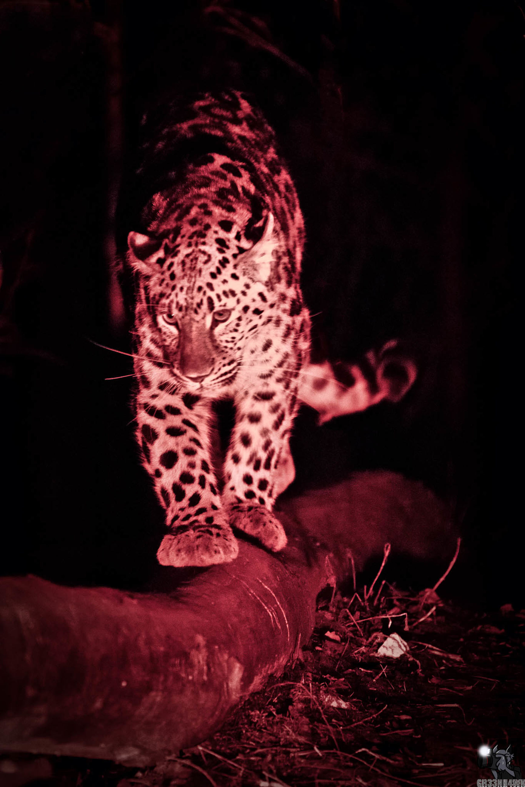one animal, animal themes, night, leopard, animals in the wild, mammal, no people, full length, nature, close-up, black background, outdoors, cheetah
