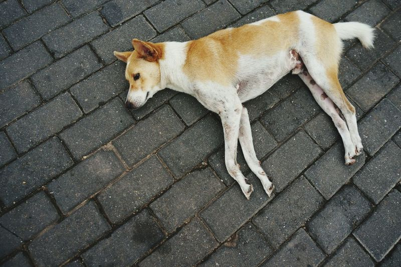 High angle view of stray dog relaxing on footpath
