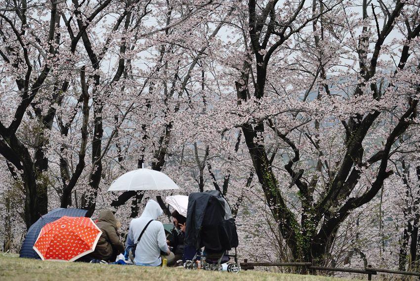 雨降るも、花見客は、居たりする。(´ー`) Sakura2017 Sakura Sakura Trees Cherry Blossoms Sakura Blossom People Watching Nature In The City The Purist (no Edit, No Filter) EyeEm Best Shots Snapshot Taking Photos Walking Around お写ん歩