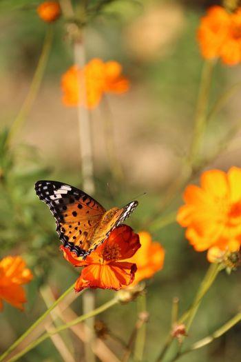 花 キバナコスモス 蝶