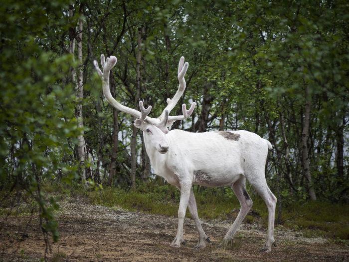 White reindeer Albino Albinodeer Antlers Deer Livestock Mammal Reindeer White Fur White Reindeer