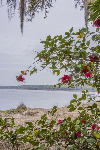 Brays Island Camilla Flower Garden Landscape_photography South Carolina,