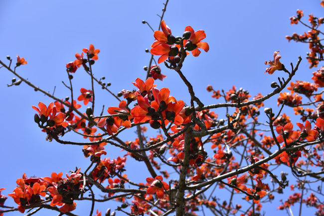 Kapok tree blossoming red orange flower Cotton Tree Beauty In Nature Branch Clear Sky Close-up Day Flower Flowering Plant Focus On Foreground Fragility Freshness Growth Kapok Low Angle View Nature No People Orange Color Orange Flower Outdoors Plant Red Rowanberry Sky Tree