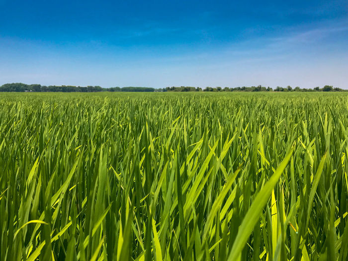 There is rice ;-) Rice Agriculture Backgrounds Beauty In Nature Blue Cereal Plant Crop  Day Farm Field Freshness Green Color Growth Landscape Nature No People Outdoors Rice Field Rural Scene Scenics Sky Tranquility