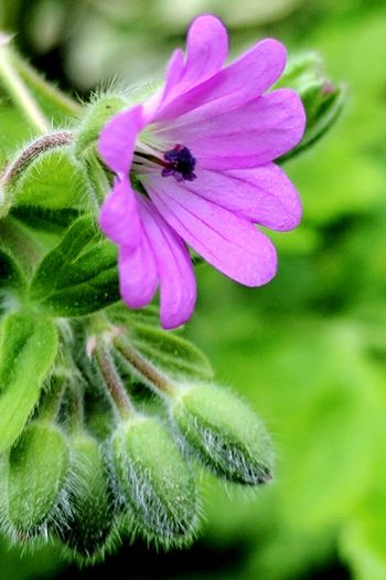 Flower Pedal Pink Color Fragility Nature No People Close-up Plant Freshness Love Of Flowers Springtime Beauty In Nature Petal Flower Buds Growth Flower Head Focus Of Foreground Stamen And Pistil Love Leaf