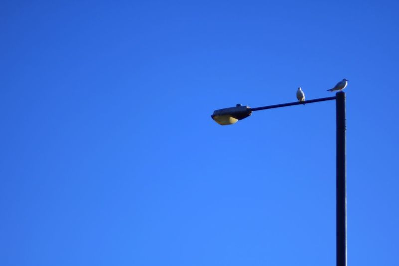 Copy Space Clear Sky Low Angle View Blue Outdoors No People Day Nature Streetlights Lamp Post Seagull Perching Bird Electricity  Lighting Equipment