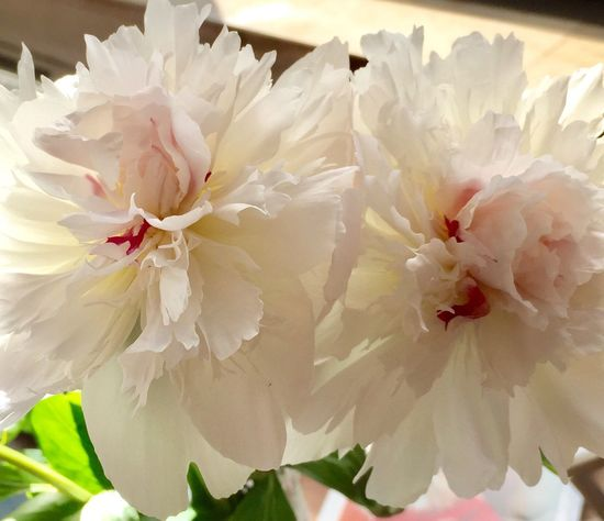 Flower Petal Fragility Flower Head Nature White Color Beauty In Nature Close-up Freshness No People Growth Day Blooming Outdoors Peony  White Pfingstrosen Weiss пион белый White Flower White Flowers White Blossoms цветок  белый цветок