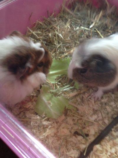 Cute Pets Guinea Pigs