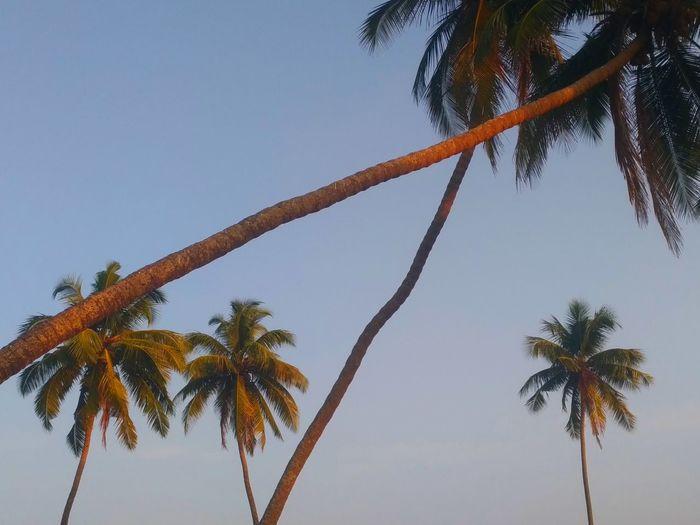 palm trees at