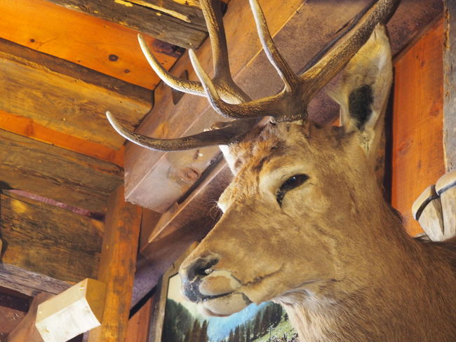 Animal Animal Body Part Animal Eye Animal Head  Close-up Dead Animal Deer Hanged Hunting Trophy No People Remote Location Taxidermy Warm Inside Winter Wood - Material Woods