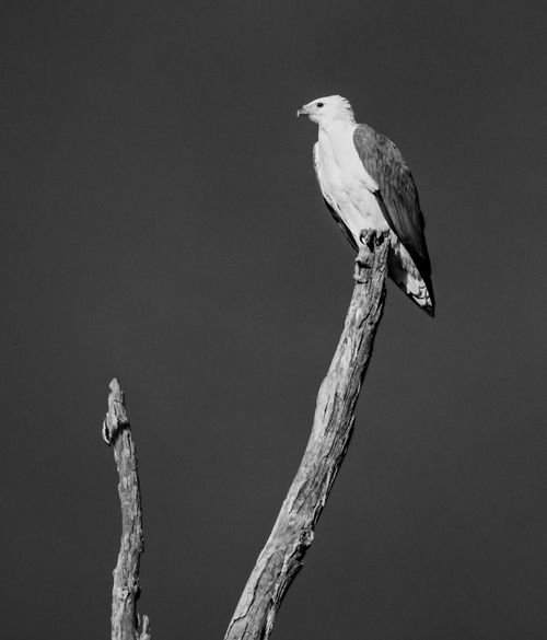 White bellied sea eagle B And W White Bellied Sea Eagle Animal Animal Themes Animal Wildlife Animals In The Wild Bird Bird Of Prey Black And White Nature Clear Sky Eagle Monochrome Nature One Animal Perching Plant Sea Eagle Shepparton Tree