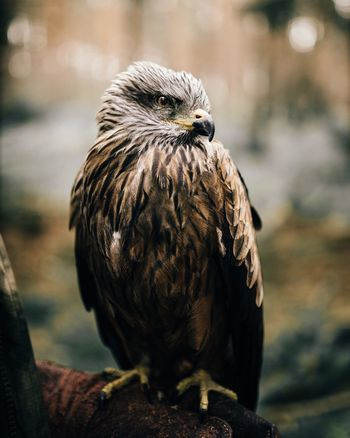 - Lumpi - Hawk Bird Adventure Club Woods Forest In The Woods Beautiful Mood EyeEm Best Shots Taking Photos Beauty In Nature Beauty Authentic Moments Moody Beautiful Nature Fine Art Photography Taking Photos EyeEm Best Edits Close-up Portrait Animal Bokeh Tame Closeup Check This Out