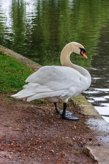 View of swan on lakeshore