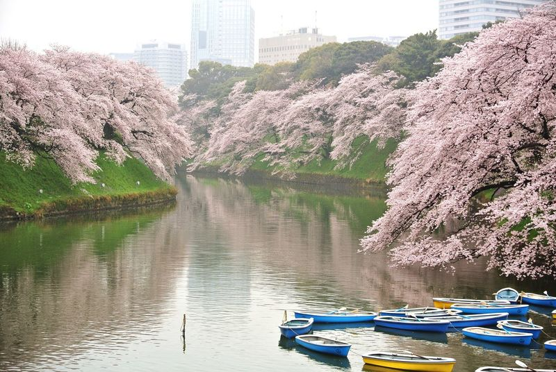 Cherry Blossoms 桜 満開 千鳥ヶ淵 Boat