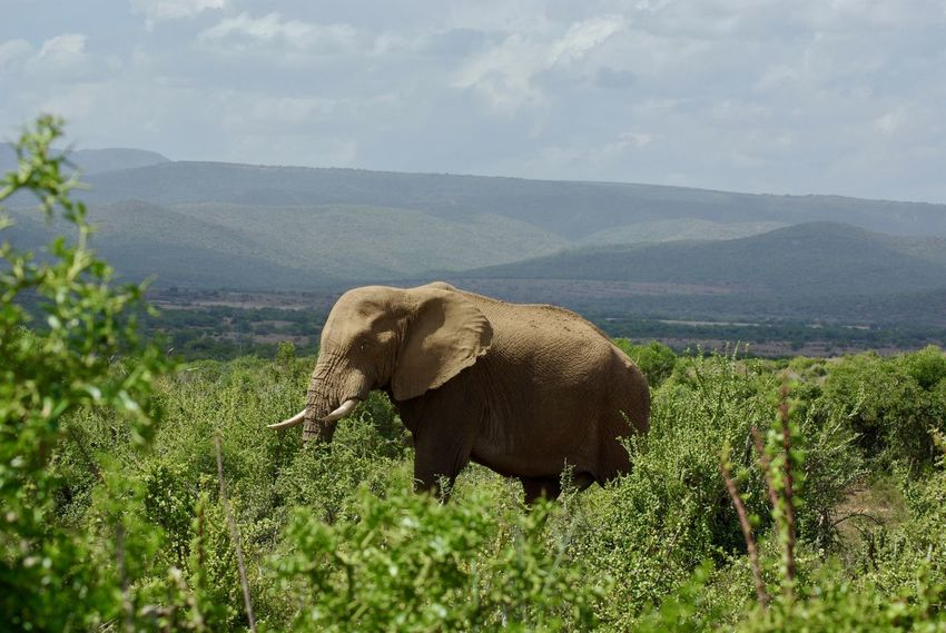 African Elephant Animal Themes Animal Trunk Animal Wildlife Animals In The Wild Beauty In Nature Day Elephant Field Grass Green Color Landscape Mammal Mountain Nature No People One Animal Outdoors Plant Safari Animals Scenics Sky Tusk