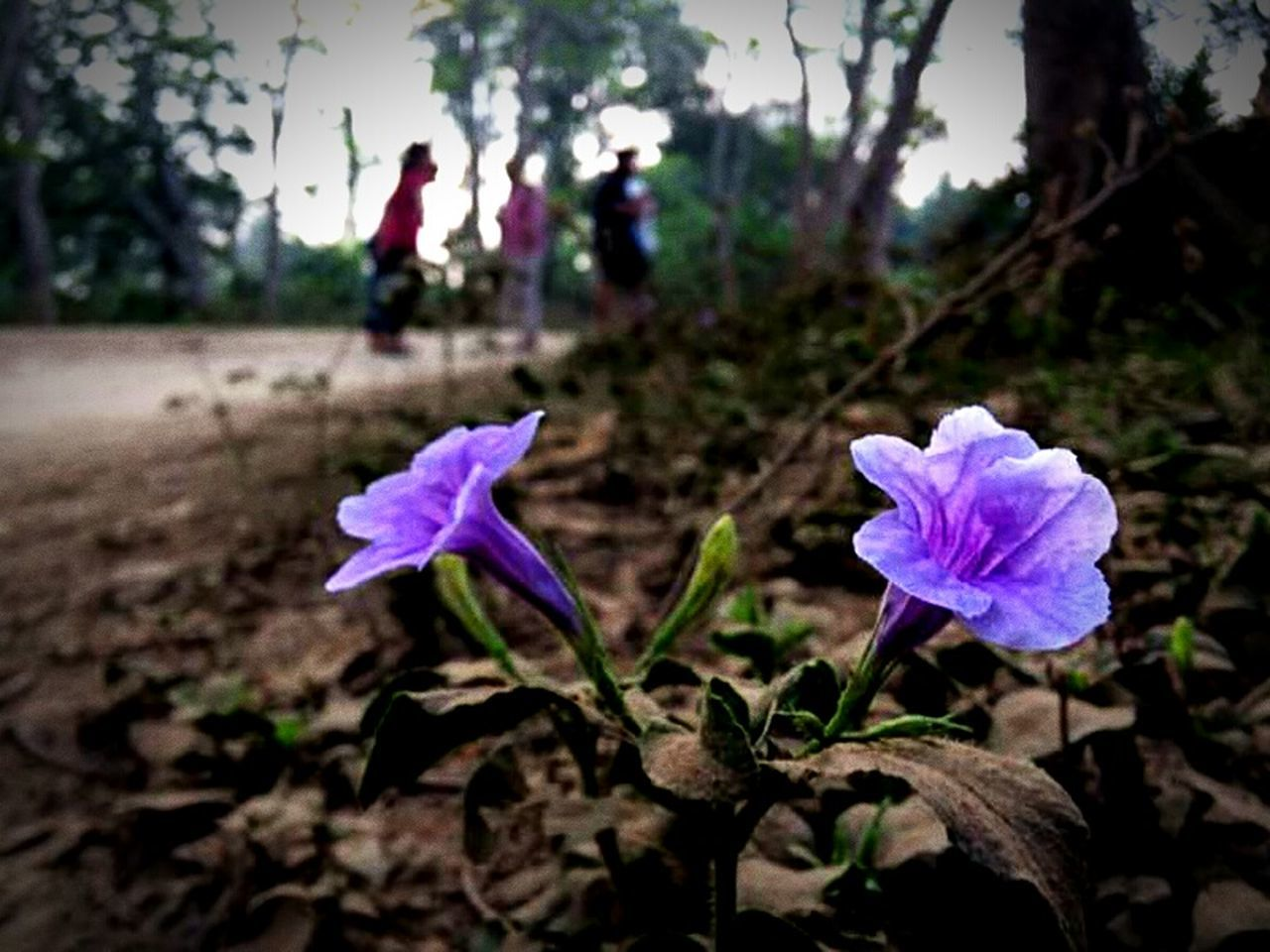 flower, nature, focus on foreground, fragility, growth, petal, outdoors, day, purple, field, plant, freshness, beauty in nature, flower head, close-up, blooming, no people
